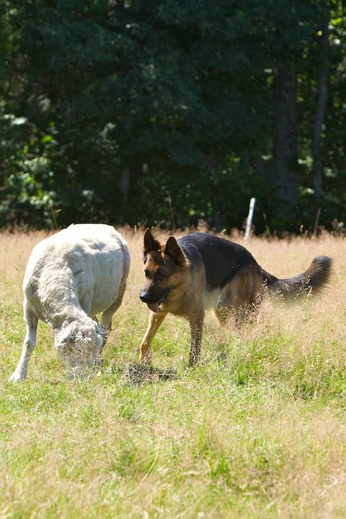 Herding Dog Training New Hampahire